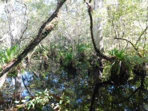 Corkscrew Swamp Sanctuary (Audubon Center dans les Everglades à Naples / Floride)
