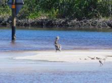 Pélican dans le lagon de la Plage de Clam Pass Park à Naples en Floride