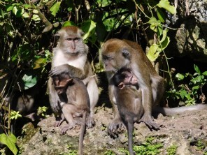Singes à Monkey Jungle (à Homestead, au sud de Miami)