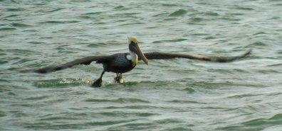 Pélicanl sur la plage de Marco Island en Floride