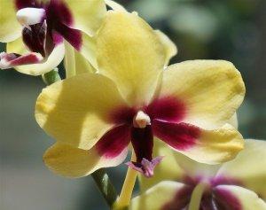 hybrid-phalaenopsis-close-up-1446327_960_720