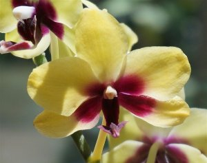 hybrid-phalaenopsis-close-up-1446327_960_720