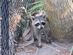 Ratons-laveurs à Green Cay Park / Everglades / Boynton Beach / Floride