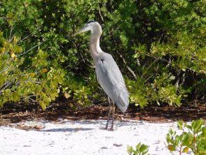 Héron bleu sur la Plage de Lovers Key en Floride