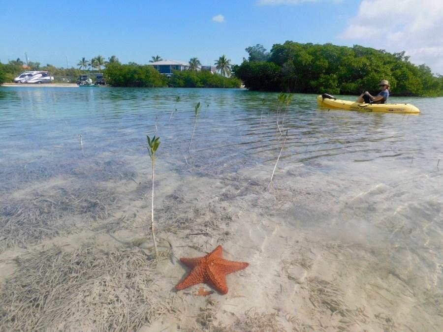 Etoile de mer dans la mangrove de Geiger (Lower Keys de Floride)