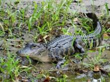 Alligator au Billie Swamp Safari, dans les Everglades de Floride (réserve Miccosukee de la forêt Big Cypress)