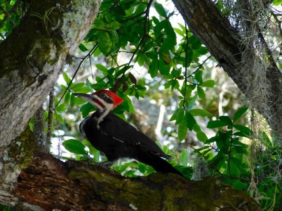 Pivert dans les Jardins botaniques Mary Selby Botanical Gardens à Sarasota (Floride)