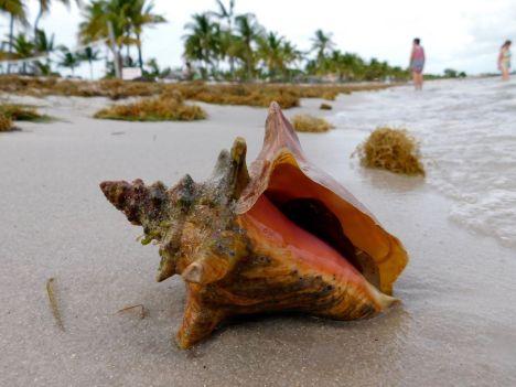 Conque sur la Plage de Smathers Beach à Key West.