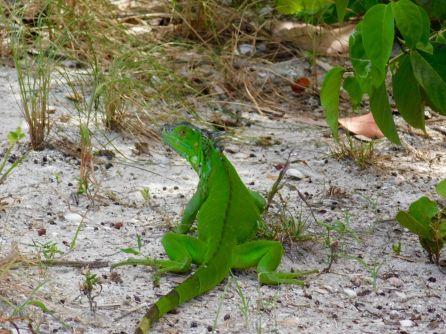 Iguane sur Peanut Island (Palm Beach - Floride)