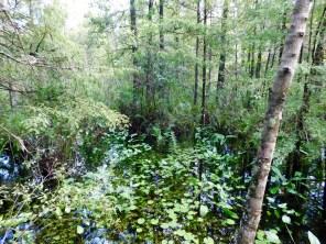 Bird Rookery Swamp Trail (Everglades, à Naples en Floride)