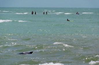 Dauphin près de la plage de Blind Pass Beach sur l'île de Sanibel (Floride)