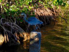 Héron bleu au Biscayne National Park