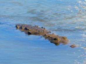 Crocodile américain à Cancun / Mexique