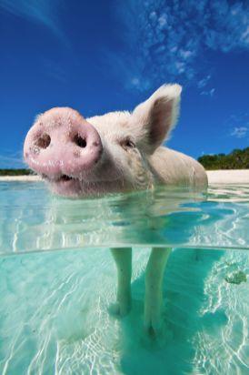 Exumas Big Major Cay - Cochons nageurs