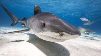 Bahamas - Requin