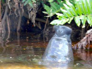 Nez de lamantin sortant de la Loxahatchee River (Floride)