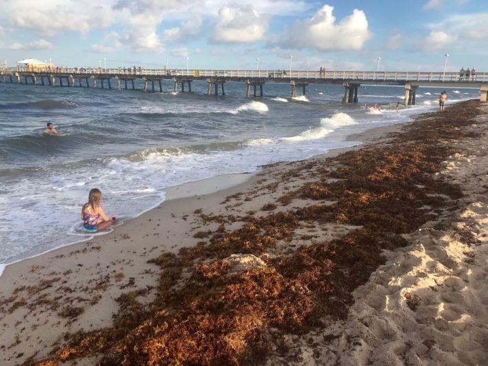 Les sargasses sur la côte Atlantique de Floride le 6 août 2018