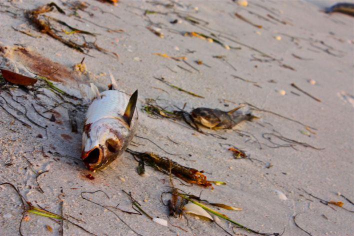 Red tide (marée rouge) en Floride