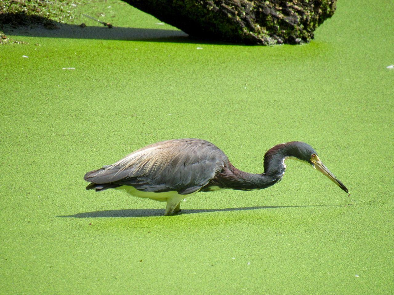 Héron bleu aux Flamingo gardens de Davie en Floride