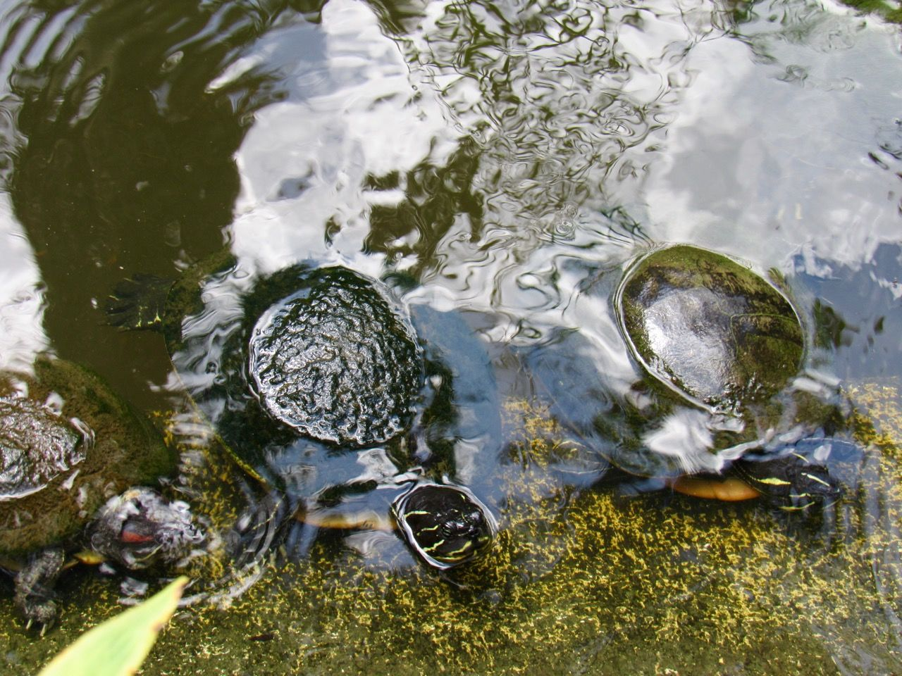 Tortues aux Flamingo gardens de Davie en Floride