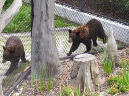 Ours bruns de Floride au zoo de Miami