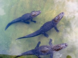 Alligators de Floride au zoo de Miami