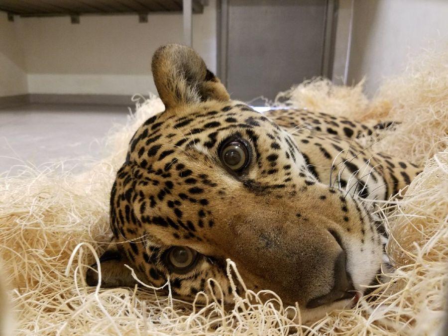 Zooka le jaguar québécois est à West Palm Beach !