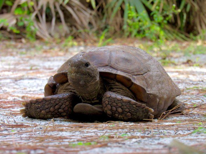 Tortue de Gopher dans le parc Delray Oaks à Delray Beach en Floride