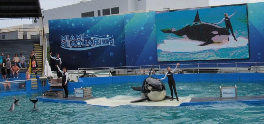 L'orque Lolita au Seaquarium
