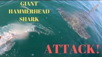 Photo of Vidéo : Un pêcheur de Floride se fait voler son tarpon par un requin-marteau