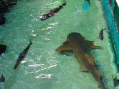 Requin au Clearwater Marine Aquarium