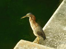 Oiseau près de Wayside Park - Coral Gables - Miami - Floride