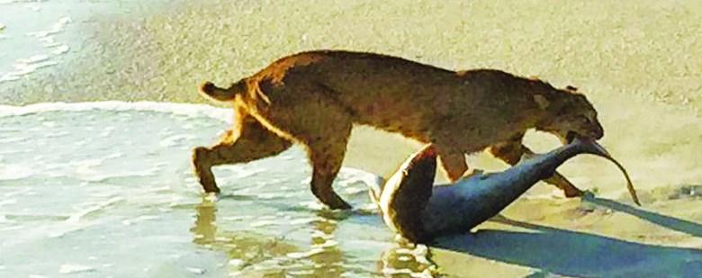 Vero Beach : un requin pêché par un lynx