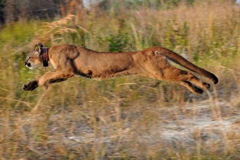 Remise en liberté d'une panthère (photo : Florida Fish and Wildlife)