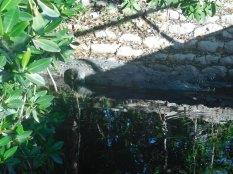 Crocodile à Flamingo -Everglades national Park)