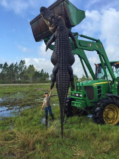 alligator-geant-2