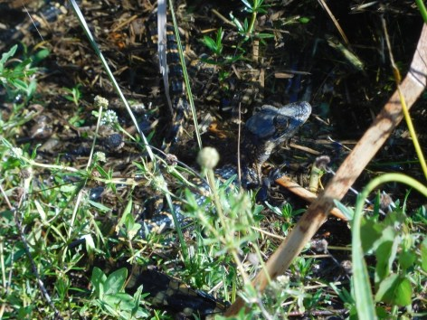 Bébé alligator à Shark Valley / Parc National des Everglades