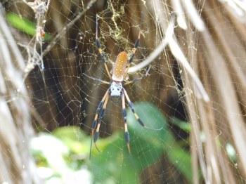 "Les ""Banana Spiders"" sont impressionnantes mais inoffensives - Chemins forestiers de Crandon Park / Key Biscayne / Miami / Floride"