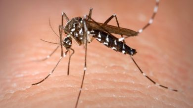 Le moustique Tigre qui propage le virus Zika