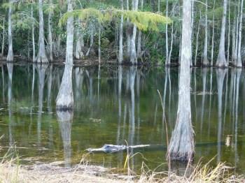 Alligator sur l'Apoxee Trail, sentier de randonnée à West Palm Beach en Floride