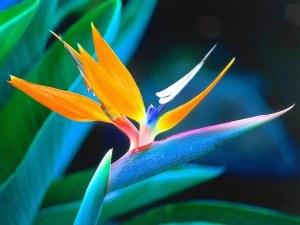 oiseau-du-paradis-2