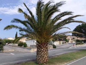 palmier-kincha-ou-phoenix