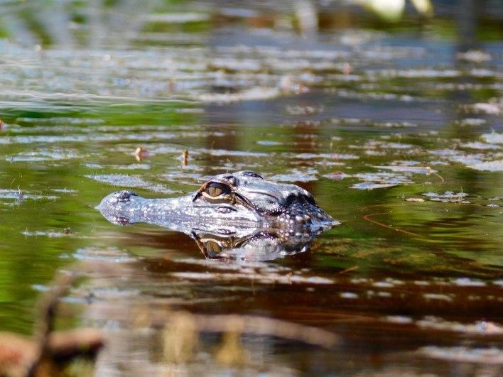 Bébé alligator au parc Grassy Waters Preserve de West Palm Beach
