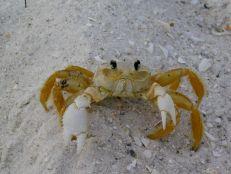 Crabe sur la plage de Delnor Wiggins à Naples en Floride.