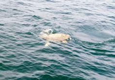 Tortue de mer à Egmont Key, au large de St Petersburg en Floride