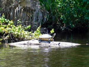Tortue sur la Little Manatee River (à Wimauma, entre Tampa et Bradenton)
