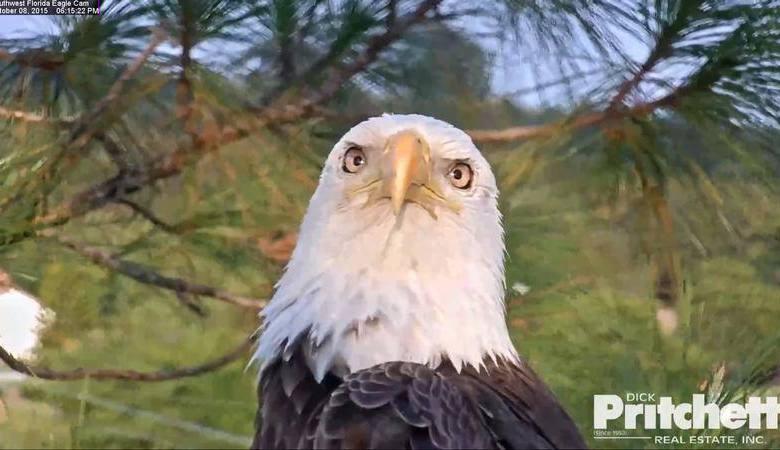 Harriet : l'aigle à tête blanche de Fort Myers