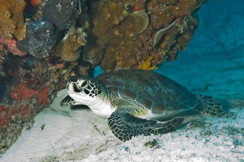 Tortue dans le parc sous-marin de Biscayne