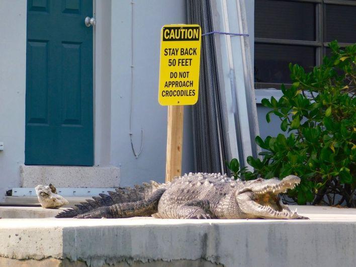 Un crocodile américain dans la mangrove d'Islamorada, dans les îles Keys de Floride