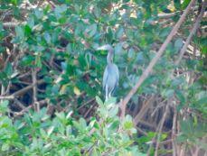 Héron bleu dans la mangrove sur l'île d'Islamorada dans l'archipel des Keys de Floride